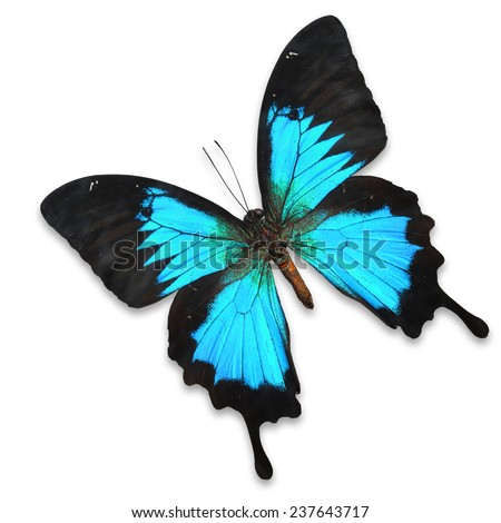Blue Butterfly. Swallowtail species (Papilio ulysses) isolated on white background - stock photo