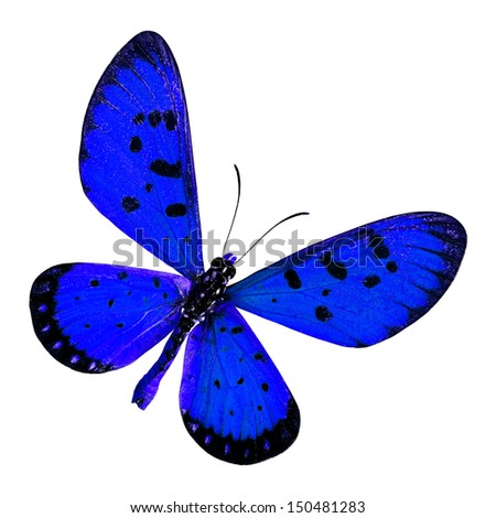 Blue Butterfly, Tawny coster (Acraea violae) upper wings profile in blue color isolated on white background - stock photo