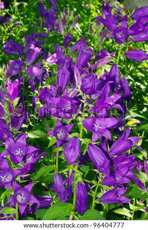 Blue campanula bellflowers floral background in full blossom - stock photo