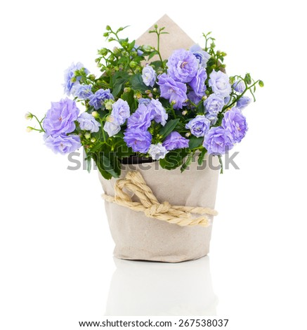 blue Campanula terry flowers in paper packaging, isolated on white background - stock photo