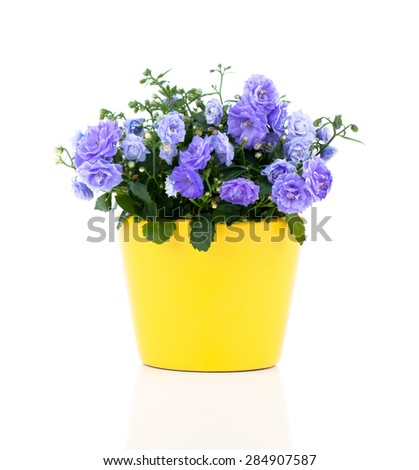 blue Campanula terry flowers, on a white background. - stock photo