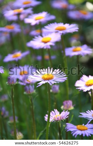 Blue chamomile grown up in my garden - stock photo