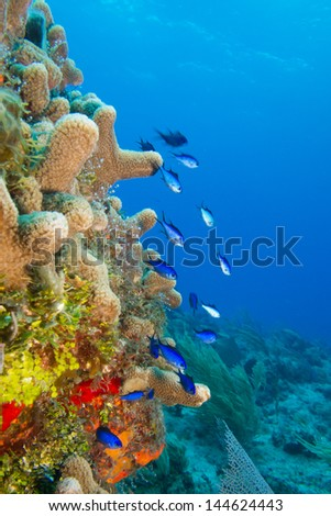blue chromis from the coral reefs of the mesoamerican barrier. Mayan Riviera, Mexican Caribbean. - stock photo