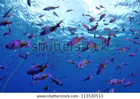 Blue Chromis in the shallows - stock photo