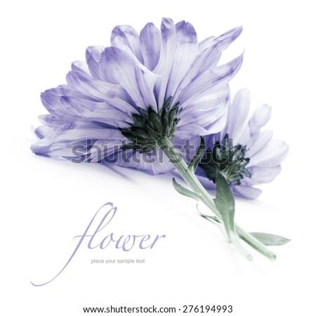 blue chrysanthemum flower on white - stock photo