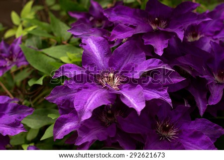 blue clematis blooming in the garden - stock photo