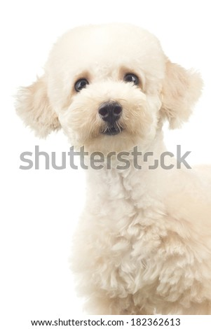 Blue Coat Toy Poodle with Curious Look - stock photo