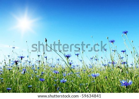 Blue cornflowers in the field,blue sky and sun. - stock photo