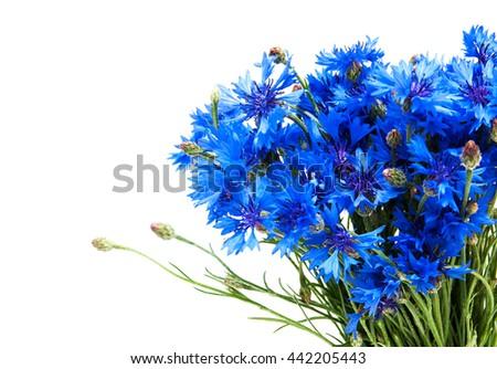 blue cornflowers isolated on a  white  background - stock photo