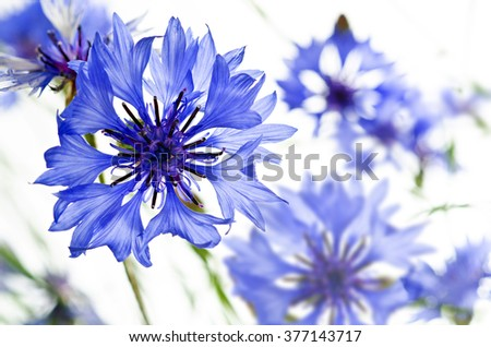 blue cornflowers  isolated on white background, horizontal - stock photo
