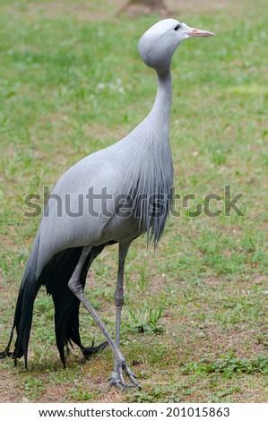Blue crane - Anthropoides paradiseus walking - stock photo