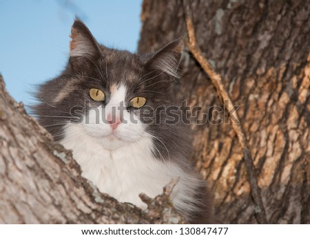Blue, cream and white diluted calico cat up in a tree, looking at the viewer - stock photo