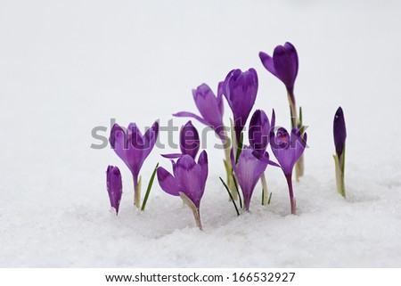 Blue crocus flowering from snow - stock photo