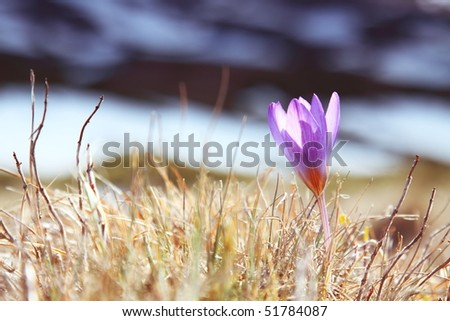 Blue crocus on background of mountains - stock photo