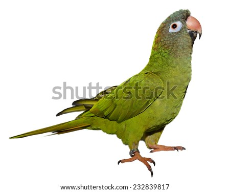 Blue Crown Conure isolated on white - stock photo