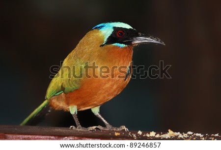 Blue-crowned Motmot (Momotus momota) - Tobago Forest Reserve - stock photo