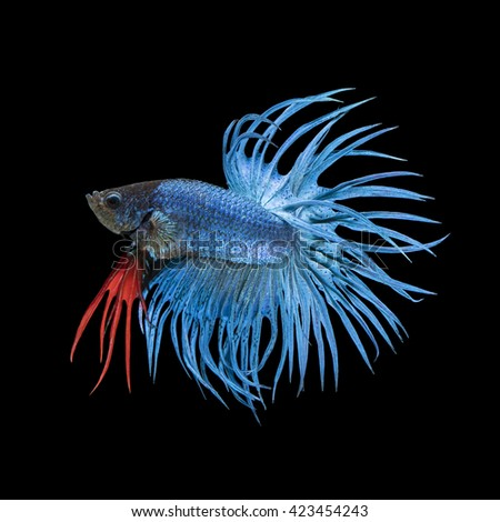 Blue Crowntail betta fish, siamese fighting fish on black background - stock photo