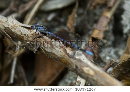 Blue Damselfly - stock photo