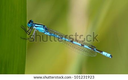 Blue Damselfly (Enallagma cyathigerum) - stock photo