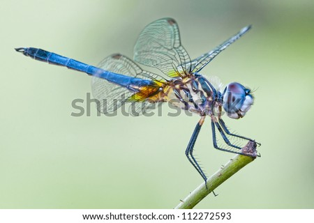 Blue Dasher Dragonfly - stock photo