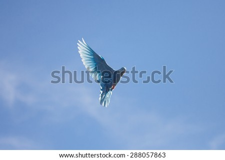 blue dove flying in the blue sky flap - stock photo