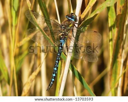 blue dragonfly (Aeshna cyanea) - stock photo