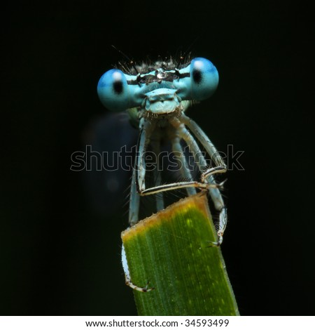 Blue dragonfly on a grass - funny portrait - stock photo
