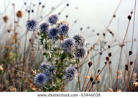 Blue Echinops flowers as a background - stock photo