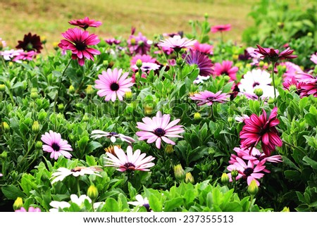 Blue-eyed Daisy,African Daisy,Cape Daisy,Spoon Daisy,red,purple and white African Daisy flowers in full bloom in the garden  - stock photo