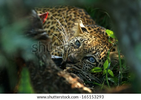 Blue eyed Leopard - stock photo