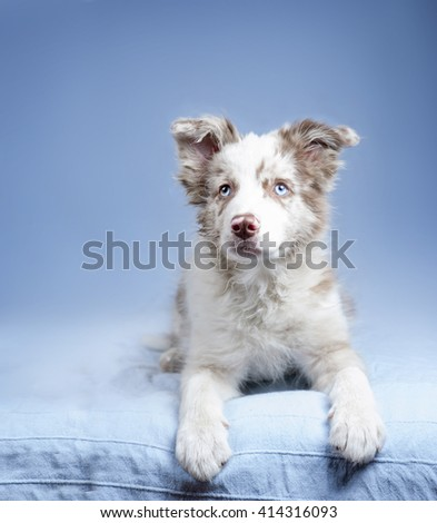 blue-eyed marble puppy border collie on blue background - stock photo