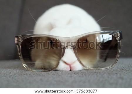 Blue eyed white netherland dwarf bunny with sunglasses - stock photo