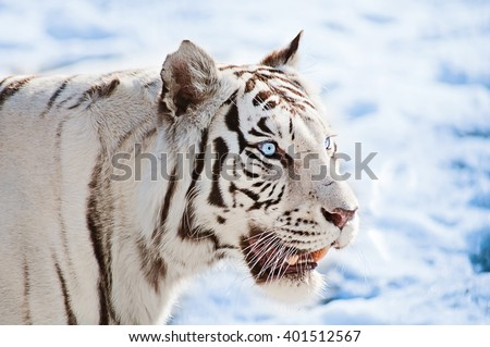 Blue-eyed white tiger on a snow background, close up - stock photo
