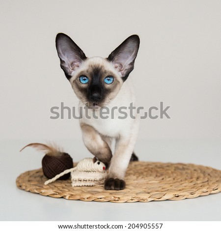 blue eyes oriental siamese cat - stock photo