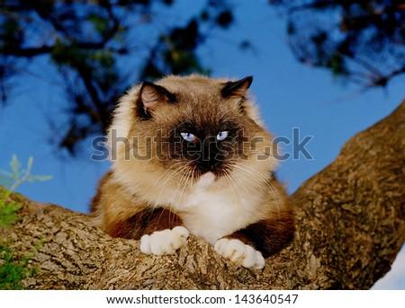 Blue eyes Ragdoll cat on a tree - stock photo