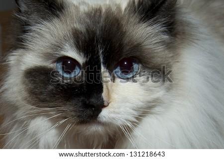Blue Eyes white and black ragdoll cat portrait - stock photo