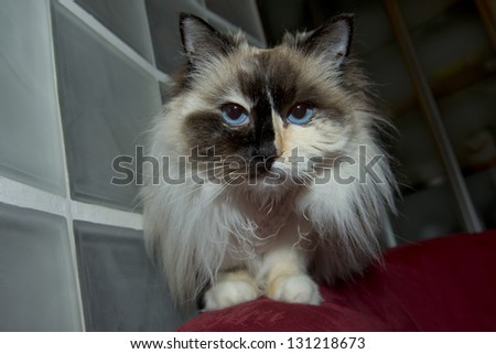 Blue Eyes white and black ragdoll cat portrait - stock photo