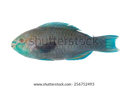 Blue fins parrot fish isolated on white - stock photo