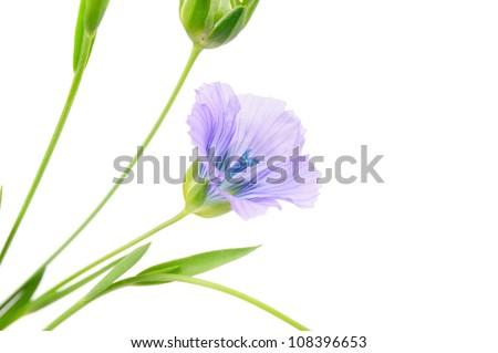 Blue Flax Flower on White Background - stock photo