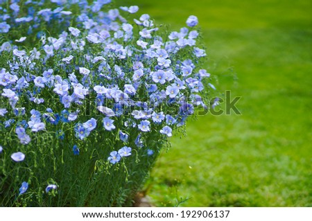 Blue flax flowers over green grass - stock photo