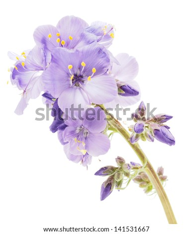 Blue flower on a white background - stock photo