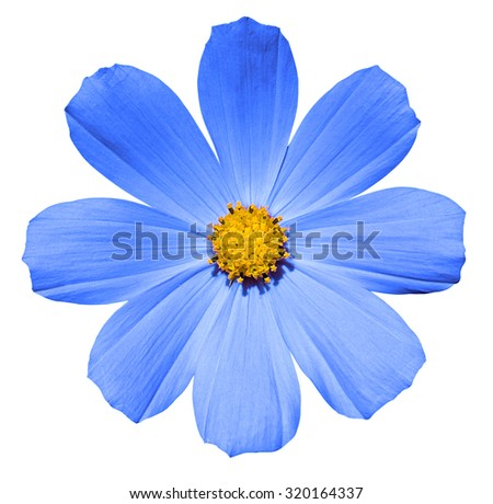 Blue flower Primula isolated on white - stock photo