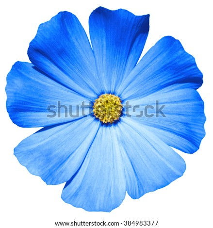 Blue flower Primula macro isolated on white - stock photo