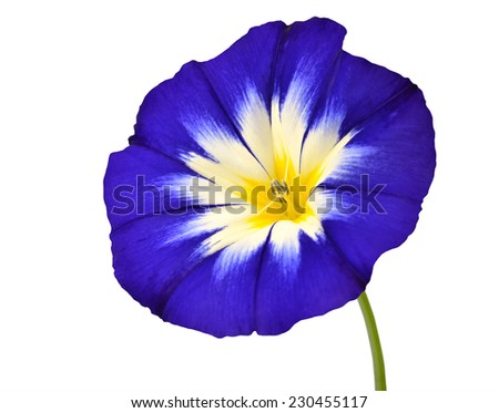 Blue Flower with White Yellow Star Shaped Center with Green Stick Isolated on  White Background. Macro of Primula Flower - stock photo