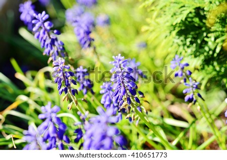 Blue flowers are beginning to bloom in the flowerbed - stock photo