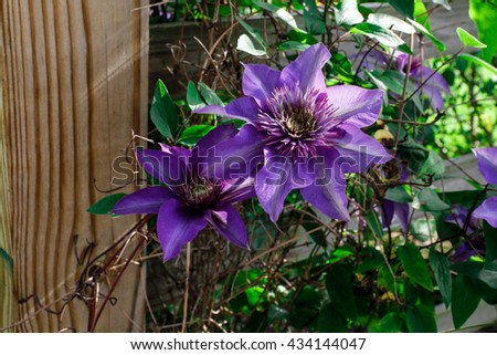 Blue flowers of Clematis blue pearl climbing on garden fence - stock photo