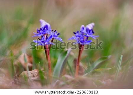 Blue flowers of Scilla spp. - stock photo