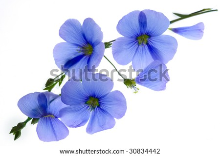 Blue flowers on a white background - stock photo
