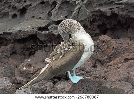 Blue-Footed Boobie Preening on the rocks of Batolome Island in the Galapagos - stock photo