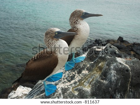 Blue Footed Boobies - stock photo